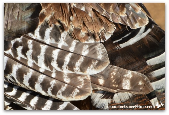 Turkey feathers close-up