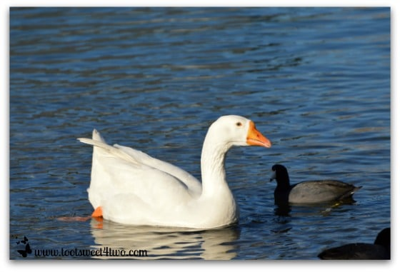 White goose and American Coot swimming