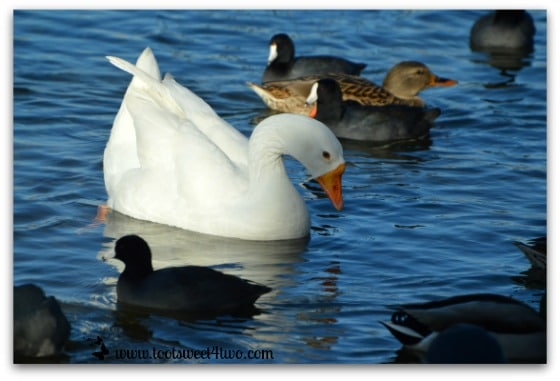 White goose, female duck and American Coots swimming