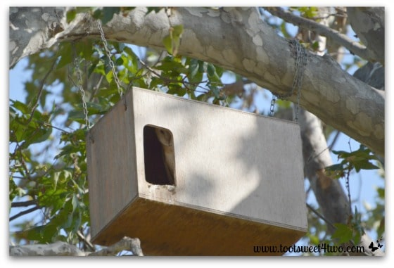 Barn Owl in owl barn - Photo 2