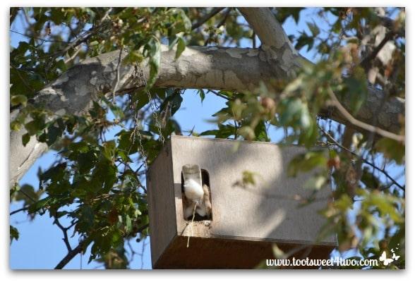Barn Owl pooping - Photo 6