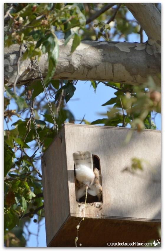 Barn Owl pooping - Photo 7