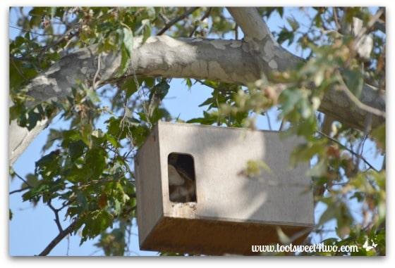 Barn Owl turning around - Photo 8