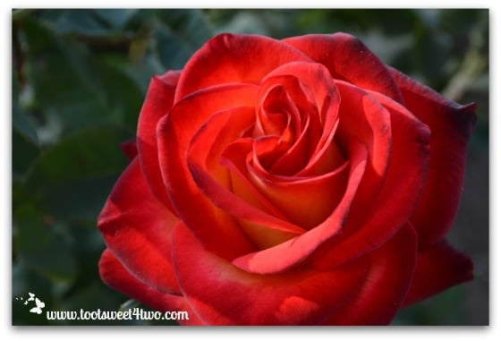 Rose - The Best of the Rest of Your Life