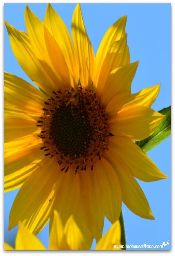 Sunflower - vertical