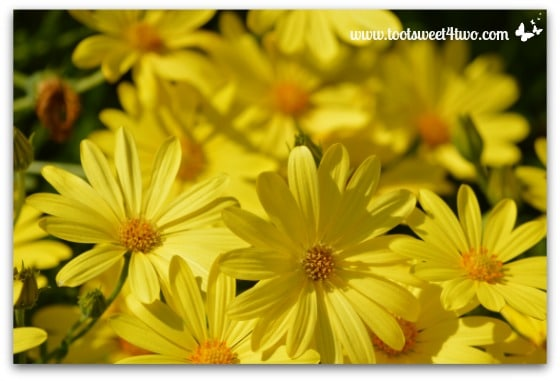 Yellow Daisies - The Best of the Rest of Your Life