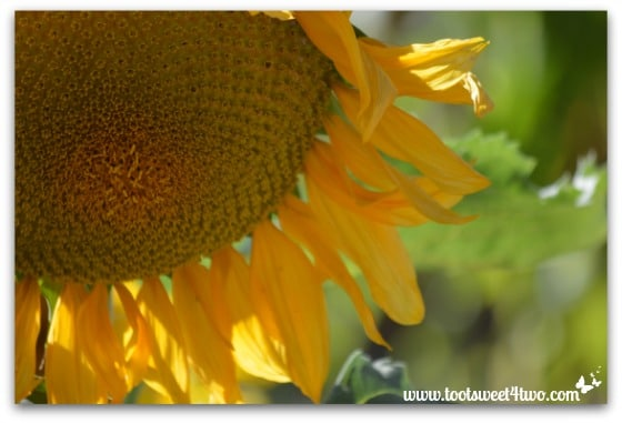 Drooping giant Sunflower - My Favorite Day