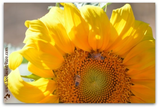 Sunflower and 2 bees - My Favorite Day
