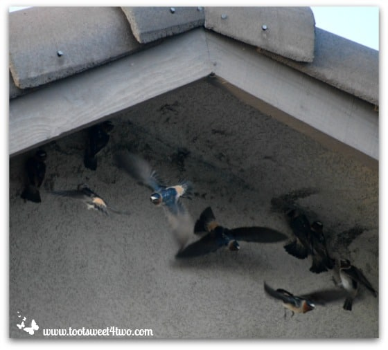 Swallows building their nests under our eaves
