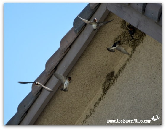 Swallows in flight