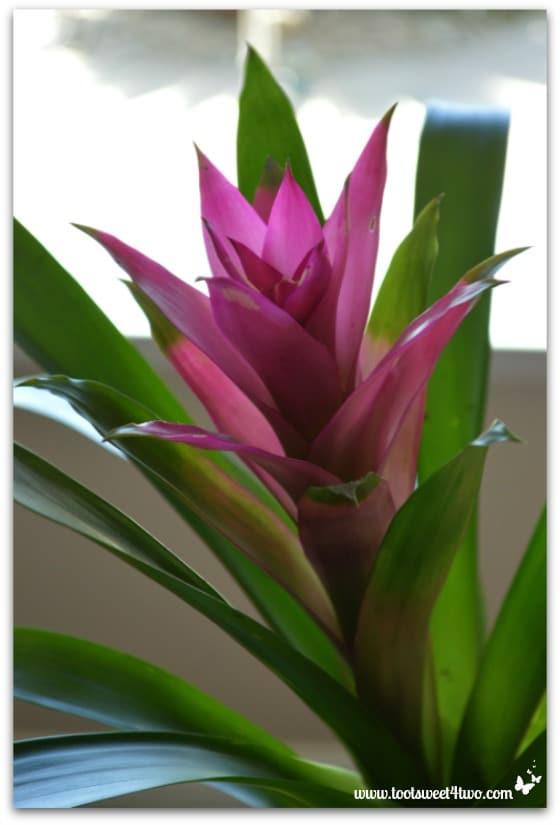 Bromeliad Plant - Creamy Purple Cauliflower Soup