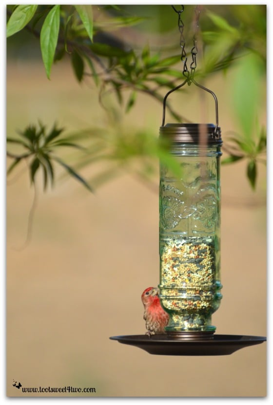 Male House Finch - The Bird Feeder and the House Finch