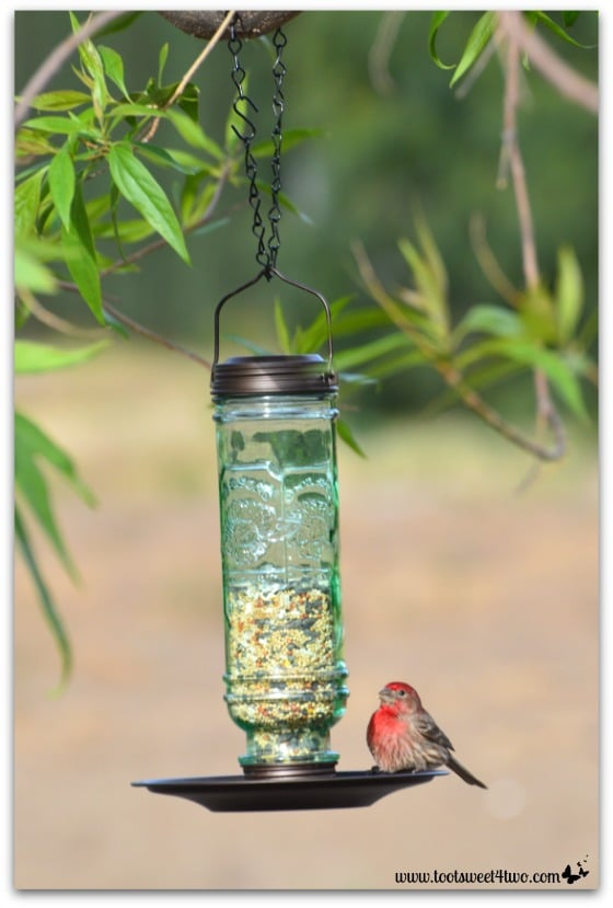 Male House Finch eyeing the bird seeds - The Bird Feeder and the House Finch