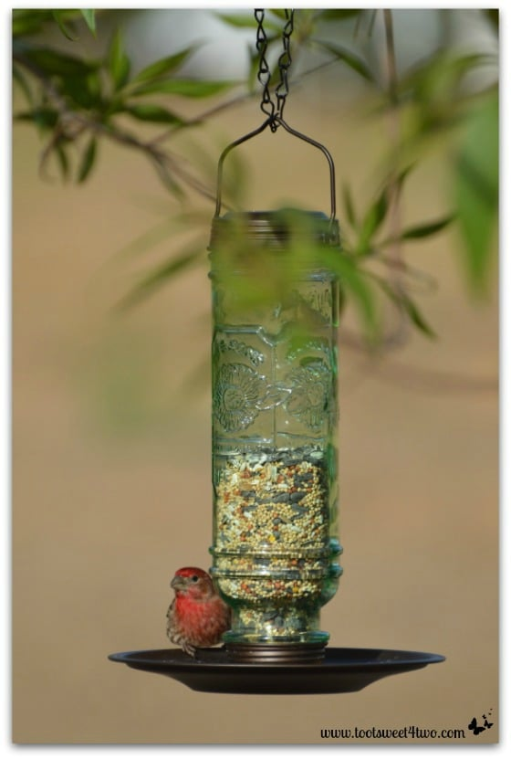 Male House Finch resting in bird feeder - The Bird Feeder and the House Finch