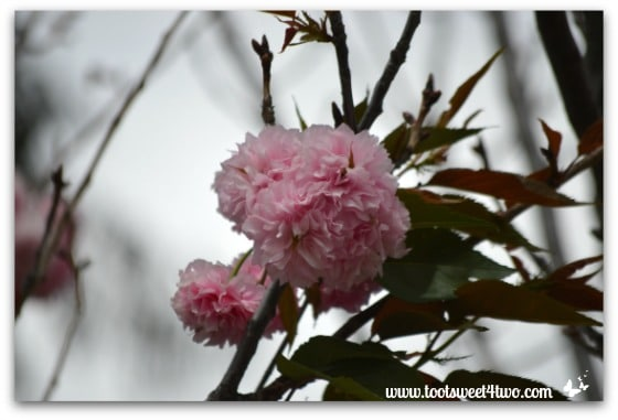 Cherry blossom tree - The Fairest Blossom