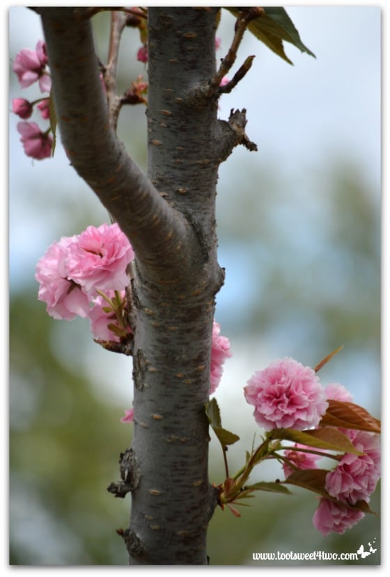The branch of a Cherry Blossom Tree - The Fairest Blossom