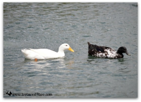 2 ducks on Temecula Pond - Things I've Learned in 2 Years of Blogging