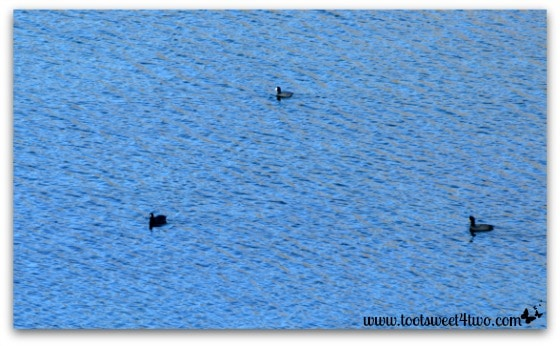 American Coots swimming in Lake Poway - Things I've Learned in 2 Years of Blogging