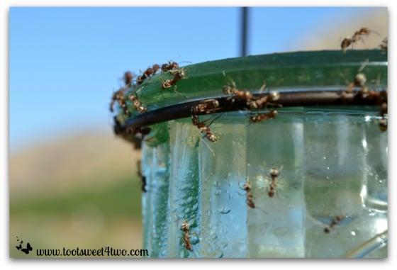 Ants climbing down the hummingbird feeder - Ant Bait