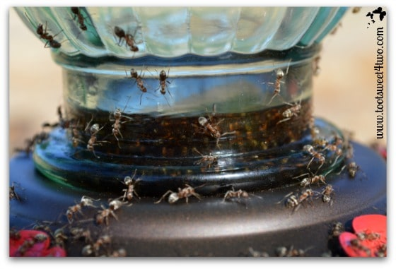 Ants in the bottom of the hummingbird feeder drowning - Ant Bait