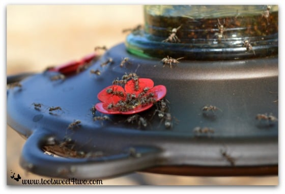 Ants in the hummingbird feeder close-up - Ant Bait