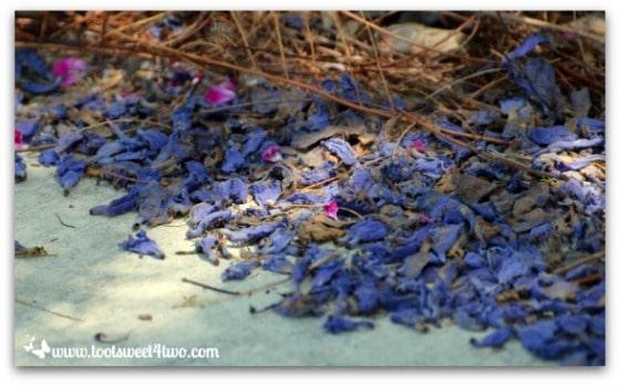 Jacaranda blossoms strewn across the driveway - Ant Bait