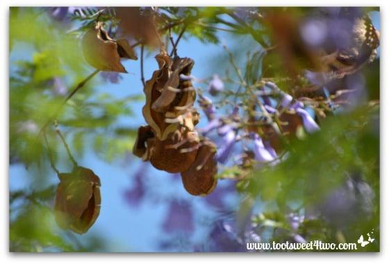 Jacaranda seed pods - Ant Bait