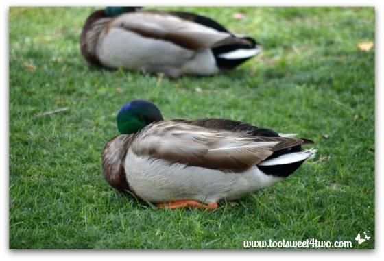 Mallards sleeping - Things I've Learned in 2 Years of Blogging