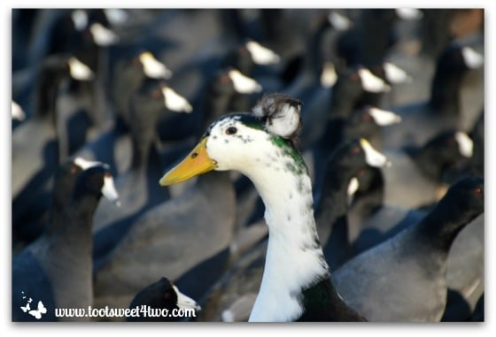 Tufted duck in a sea of American Coots - Things I've Learned in 2 Years of Blogging