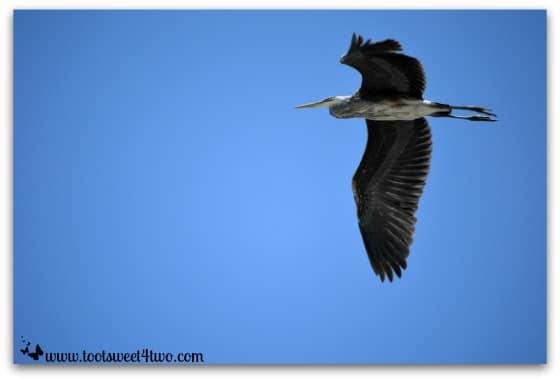 Great Blue Heron in the sky - Oceanside Harbor