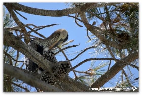 Great Blue Heron in tree - Oceanside Harbor