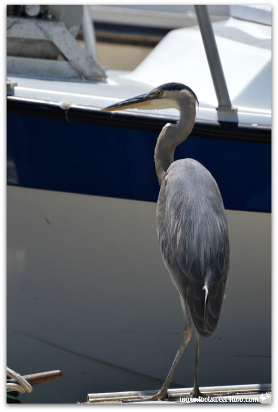 Great Blue Heron on the dock - Oceanside Harbor