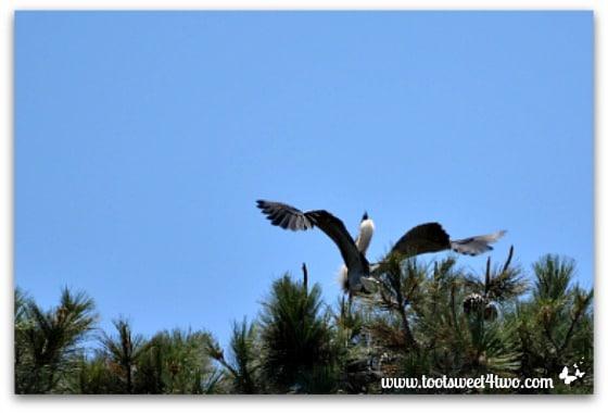Great Blue Heron taking off from nest - Oceanside Harbor