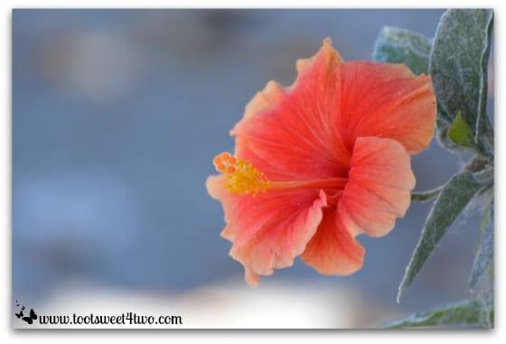 Orange Hibiscus - Oceanside Harbor