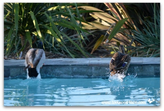 Pic 11 - Ducks getting out of my pool - Paradise Found