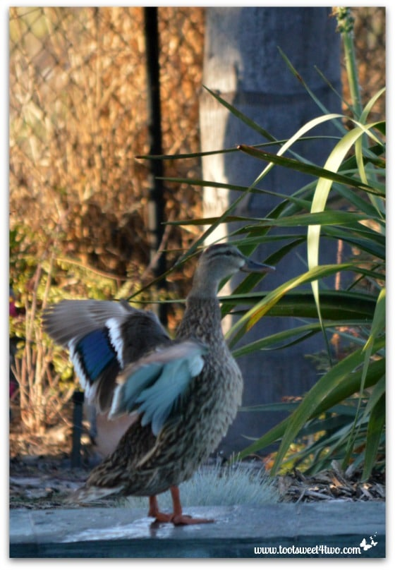 Pic 12 - Female duck drying off by my pool - Paradise Found