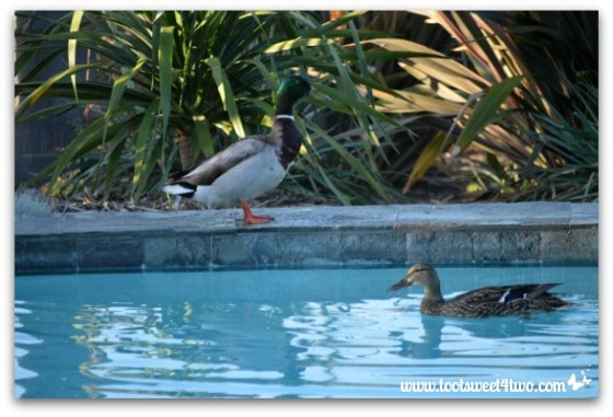 Pic 17 - Mallard watching female swim in my pool - Paradise Found