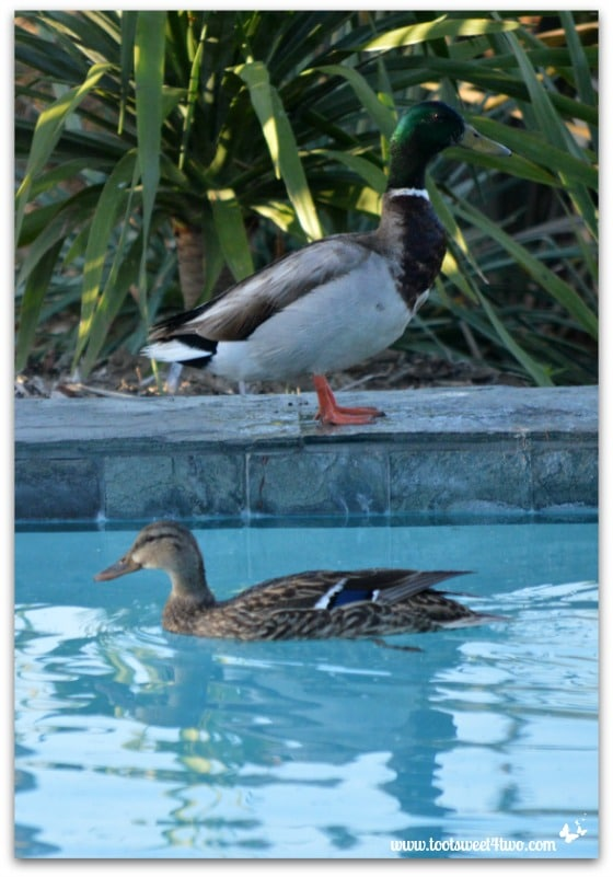 Pic 18 - Mallard watching female duck swim by in my pool - Paradise Found