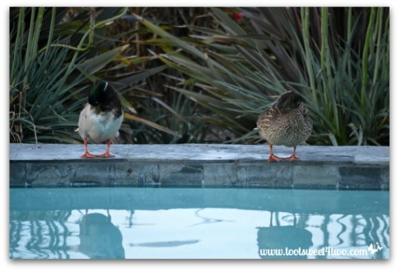 Pic 2 - Ducks grooming at the edge of my pool - Paradise Found