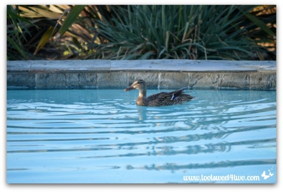 Pic 4 - Female duck swimming in my pool - Paradise Found