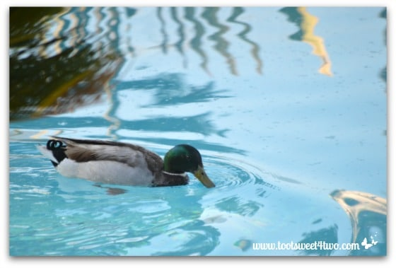 Pic 5 - Mallard enjoying my pool - Paradise Found