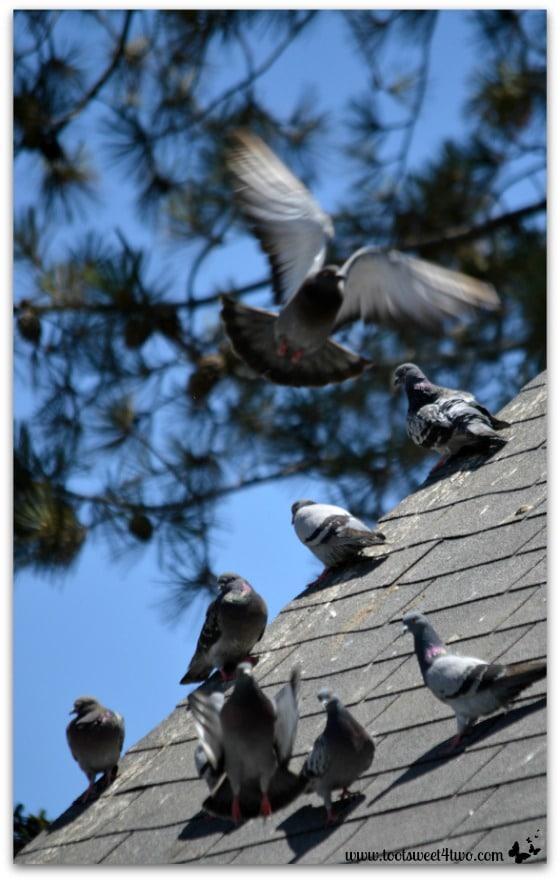 Pigeons on the Roof - Oceanside Harbor