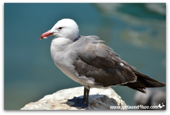 Seagull on a rock - Oceanside Harbor