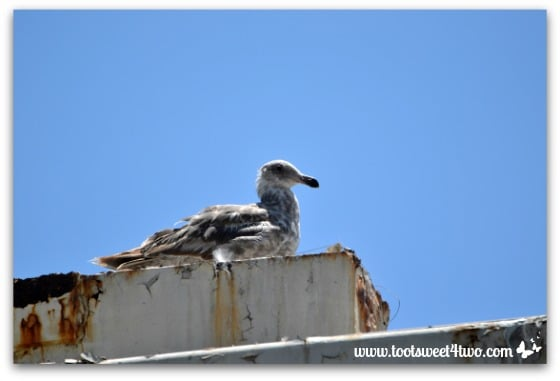 Seagull on rusted rooftop - Oceanside Harbor