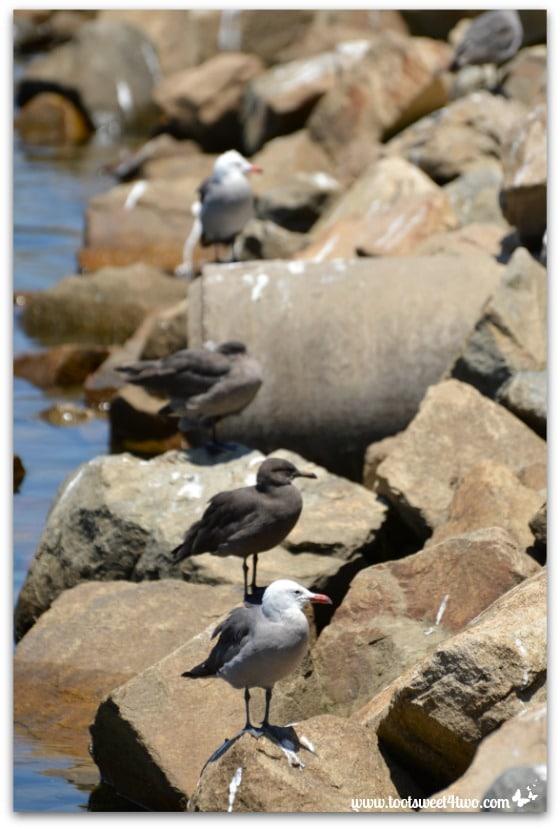 Seagulls on the rocks - Oceanside Harbor