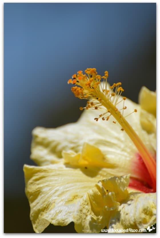 Yellow hibiscus - Oceanside Harbor