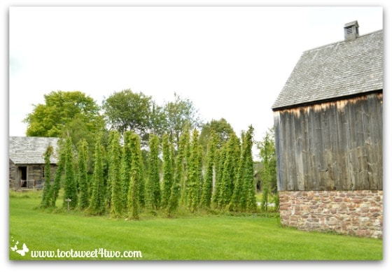 Hops growing in a field beside Hop House at Genesee Country Village