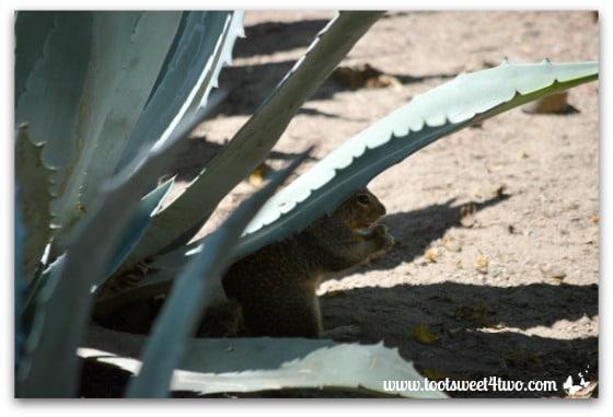 Squirrel in the gardens at Mission San Antonio de Pala