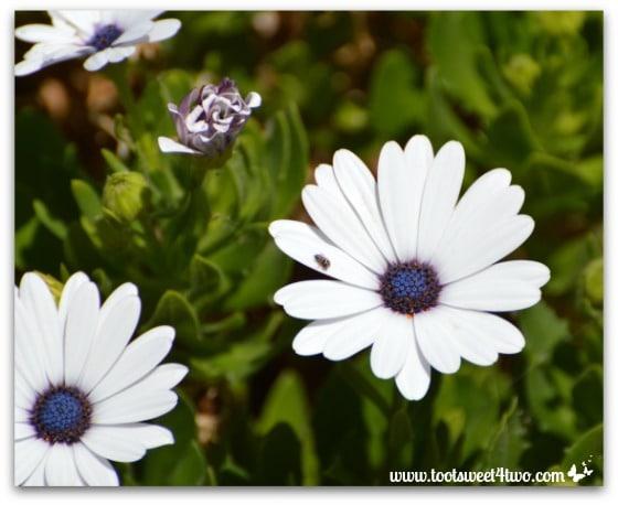 Osteospermum aka Freeway Daisy