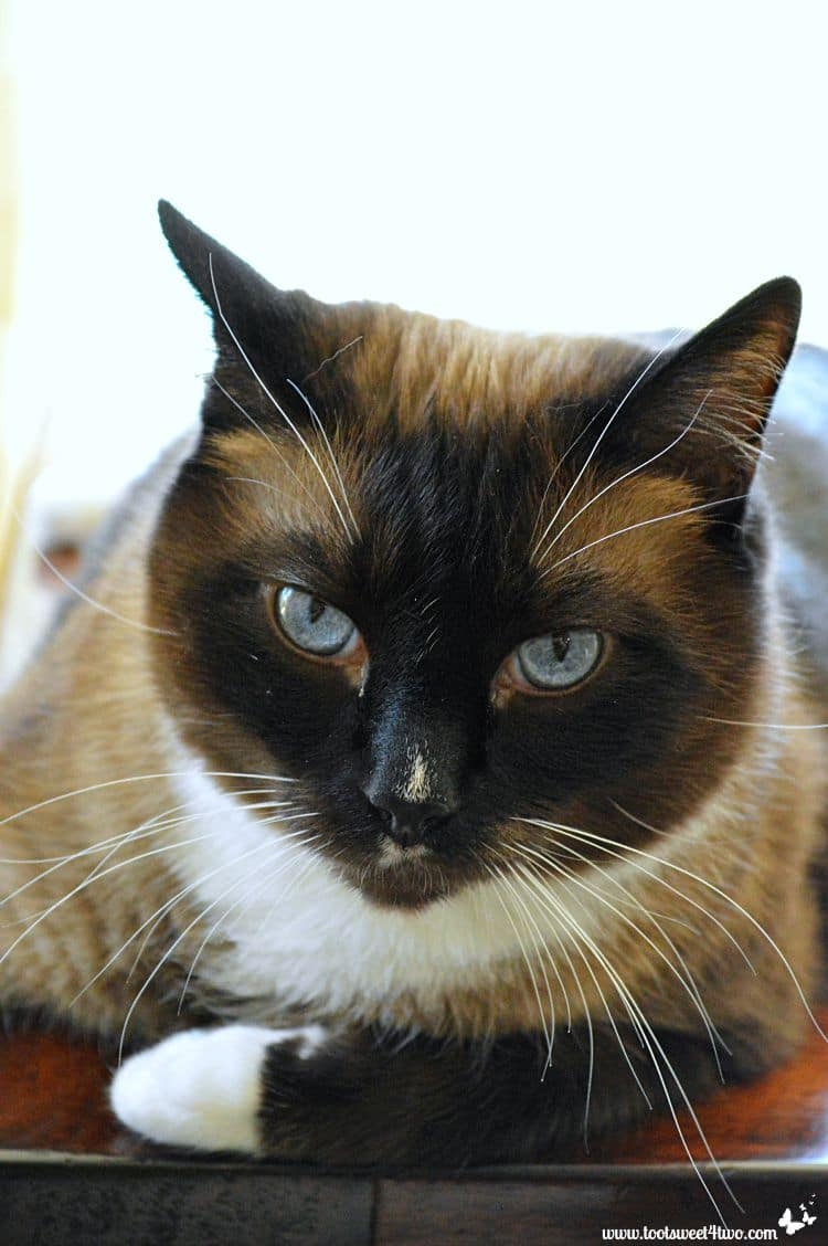 Coco the Snowshoe Siamese portrait
